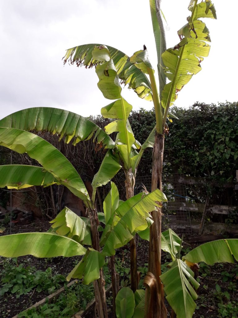 Banana tree at the allotment