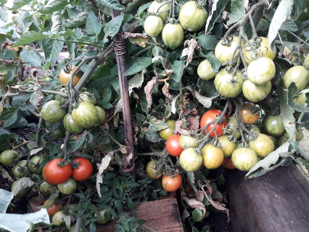 Tomatoes at the allotment