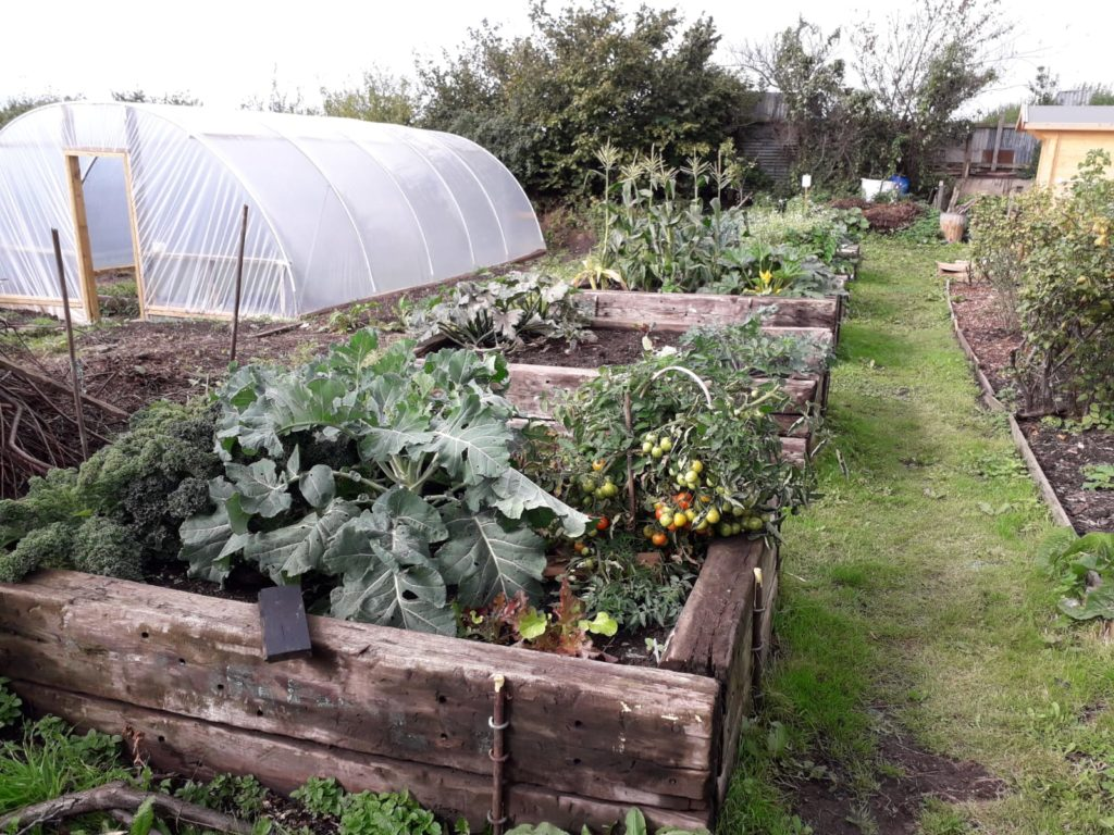 Vegetables growing on the allotment