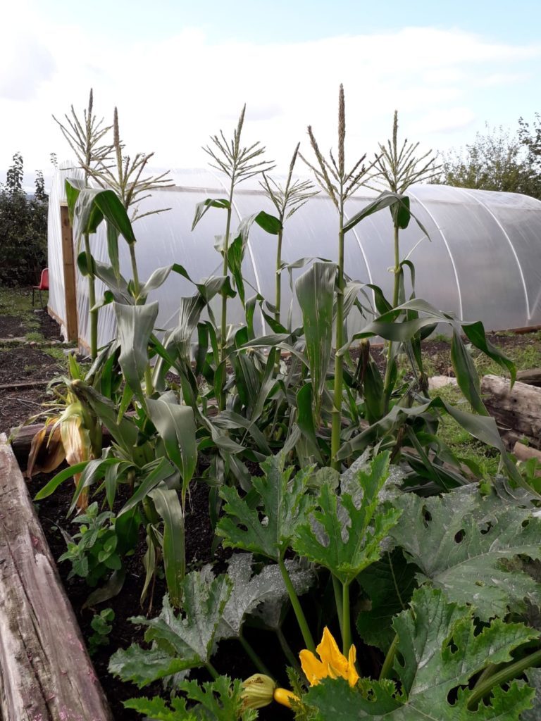 sweetcorn and polytunnel