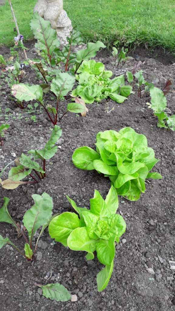 photo of beets and lettuce growing