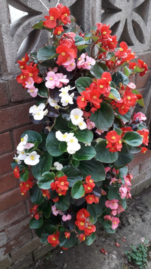 photo of begonias in bloom