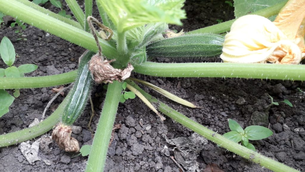 photo of courgettes on plant