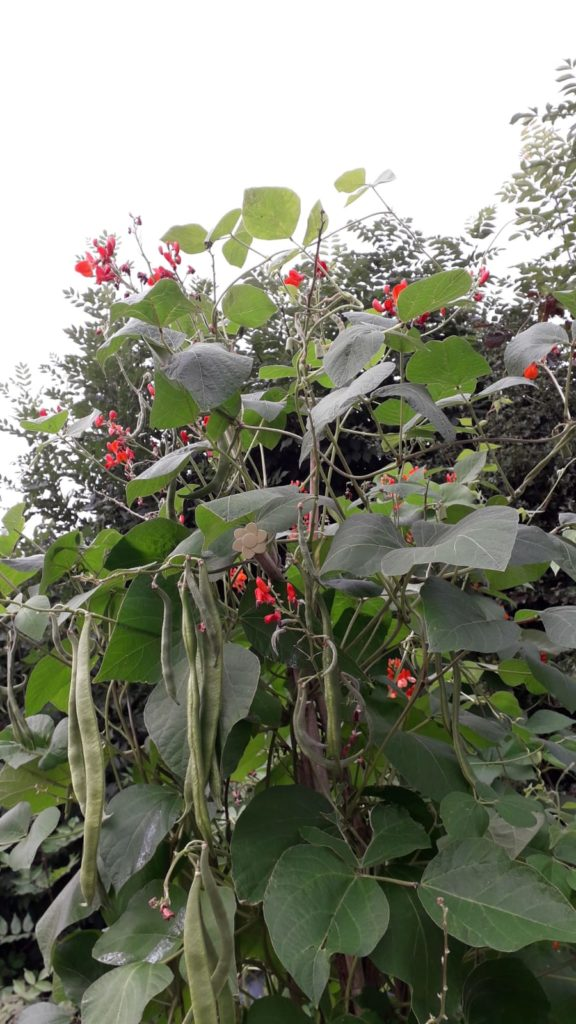 photo of runner beans growing