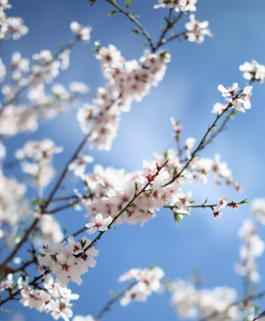 photo of pink blossom in front of blue sky