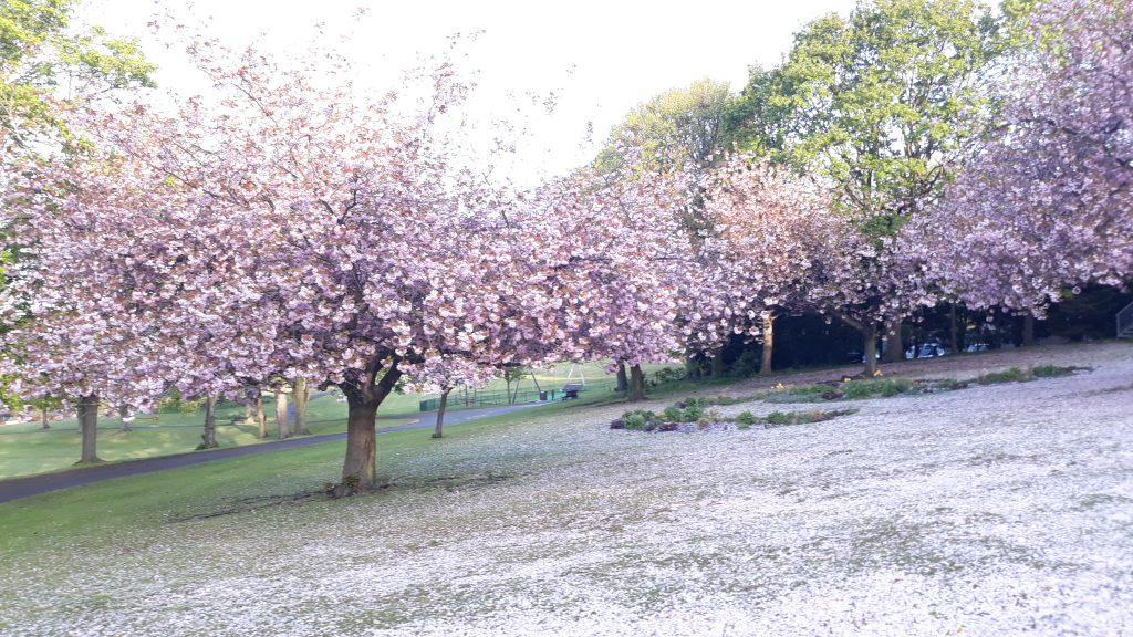 photo of cherry blossom trees